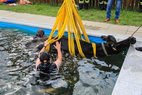 Genug geplanscht! Einsatzkräfte der Feuerwehr bergen die Kuh aus dem Swimmingpool. Foto: Thomas Zeiler/Feuerwehr Apfelberg/APA/dpa